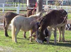 Gentling Wild Donkeys 101