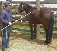 Gentling horses with a bamboo pole for Negative show pool horse racing